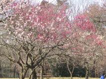 埼玉の武蔵丘陵森林公園で梅を見る