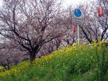 吉見の桜堤へ花見に行こう!