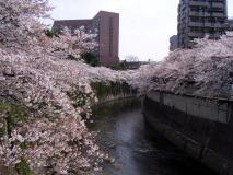 東京都内の桜巡り