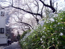 東京都内桜巡りサイクリング