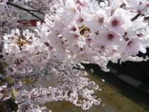 東京 桜の名所散歩