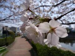 尼崎市の桜の名所&桜並木探訪