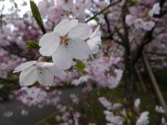 皇居から青山・原宿へ花見散歩2009