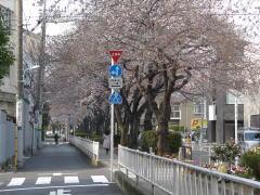 呑川緑道と桜並木散歩